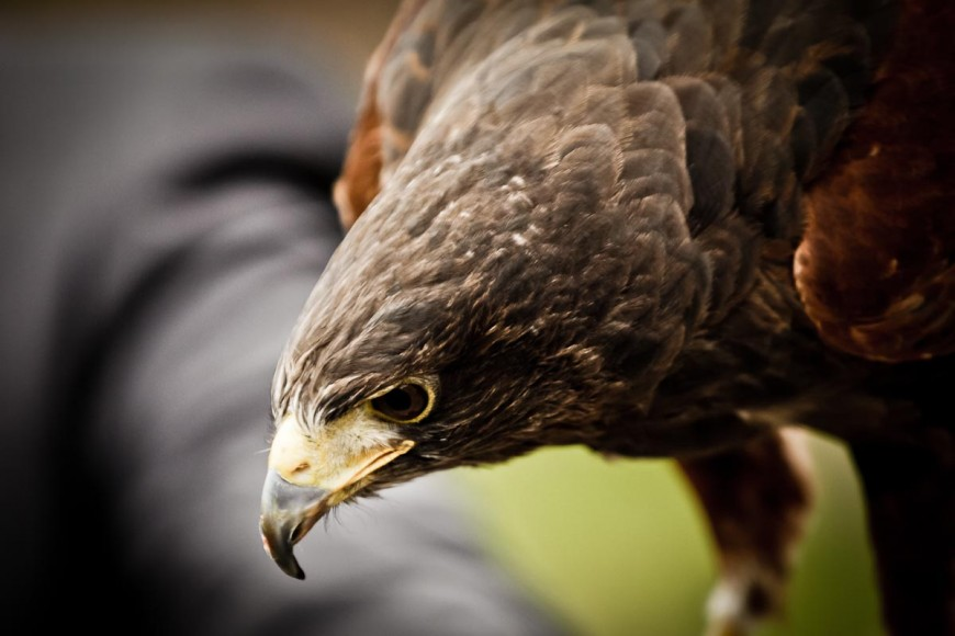 bird of prey at wedding