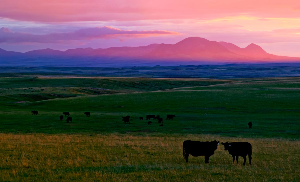 vivid Montana sunset with cows in the foregroud